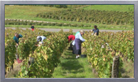 Royalty Free HD Viticulture stock footage video clip